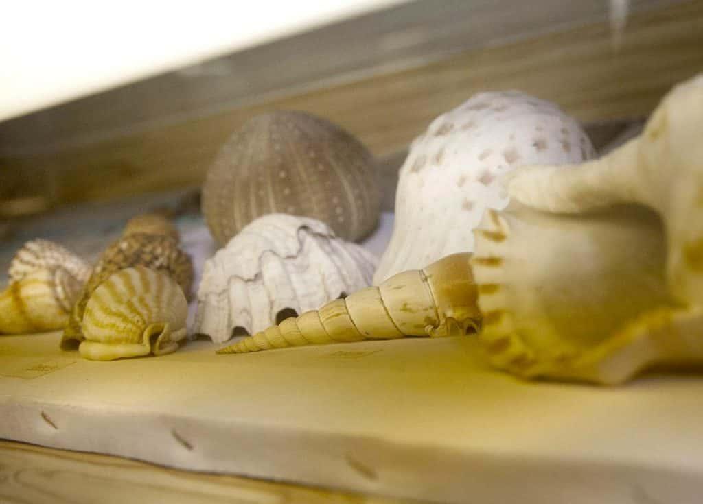 Teca con conchiglie-Museo di Bellaria
